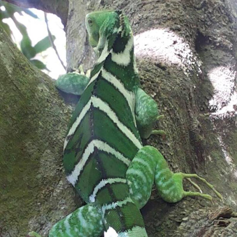 Iguanas Return Home…
