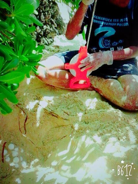 Turtle Nesting In Mana and Navini