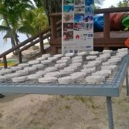Resort aims to plant 200 coral every month