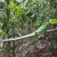 Monuriki Islands received its lasts native population of Iguanas