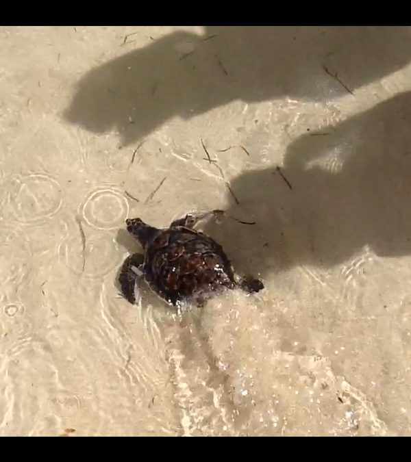 The last turtle release